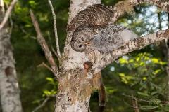 Barred Owl 032