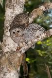 Barred Owl 034