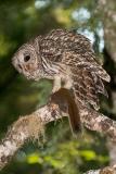 Barred Owl 038