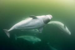 Beluga_Whale_15089