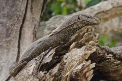 Bengal Monitor Lizard 011