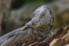 Bengal Monitor Lizard 012