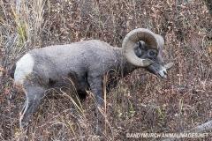Rocky Mountain Bighorn Sheep 001
