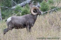 Rocky Mountain Bighorn Sheep 008