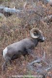 Rocky Mountain Bighorn Sheep 011