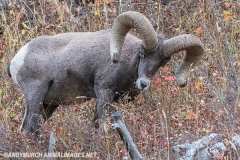 Rocky Mountain Bighorn Sheep 017