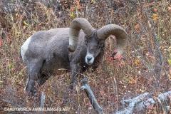 Rocky Mountain Bighorn Sheep 018