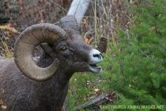 Rocky Mountain Bighorn Sheep 030