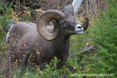Rocky Mountain Bighorn Sheep 031