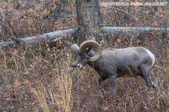 Rocky Mountain Bighorn Sheep 033