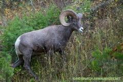Rocky Mountain Bighorn Sheep 037