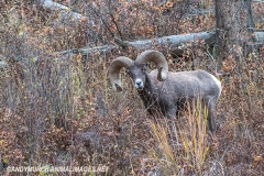 Rocky Mountain Bighorn Sheep 041