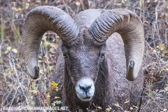 Rocky Mountain Bighorn Sheep 044