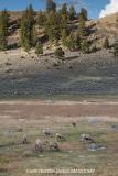 Rocky Mountain Bighorn Sheep 047