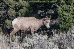 Rocky Mountain Bighorn Sheep 050