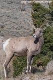 Rocky Mountain Bighorn Sheep 053