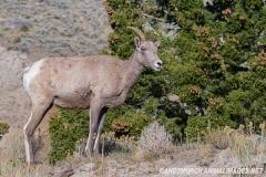 Rocky Mountain Bighorn Sheep 056