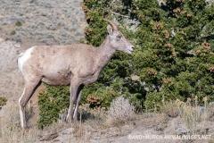 Rocky Mountain Bighorn Sheep 058