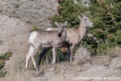 Rocky Mountain Bighorn Sheep 059