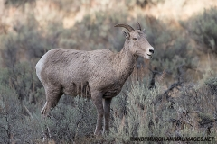 Rocky Mountain Bighorn Sheep 063