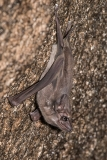 Black-bearded Tomb Bat 005