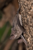 Black-bearded Tomb Bat 007