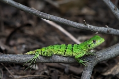 Black Iguana Juvenile 012