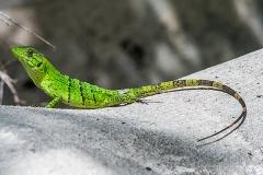 Black Iguana Juvenile 014