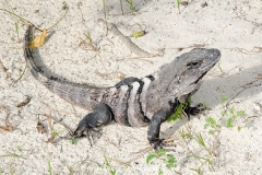 Black Spiny-tailed Iguana 011
