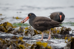 Black Oystercatcher 001