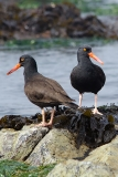 Black Oystercatcher 007