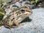 Black Spotted Pond Frog