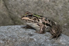 Black-spotted Pond Frog 003