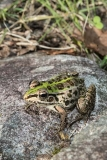 Black-spotted Pond Frog 006