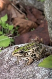 Black-spotted Pond Frog 008
