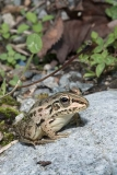 Black-spotted Pond Frog 012