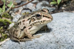 Black-spotted Pond Frog 013