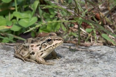 Black-spotted Pond Frog 015