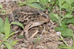 Black-spotted Pond Frog 016