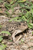 Black-spotted Pond Frog 017