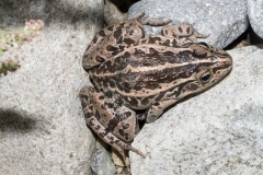 Black-spotted Pond Frog 019