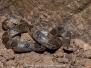Blotched Hooknose Snake