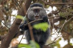 Blue Monkey 015