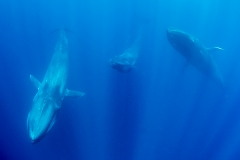 Pygmy Blue Whale 041