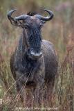 Blue Wildebeest 010