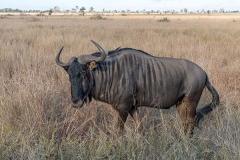 Blue Wildebeest 016