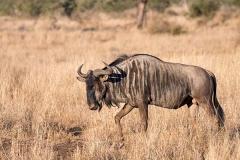 Blue Wildebeest 022