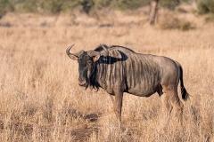 Blue Wildebeest 024