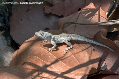 Bahaman Brown Anole 016