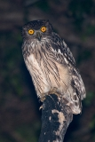 Brown Fish Owl 003
